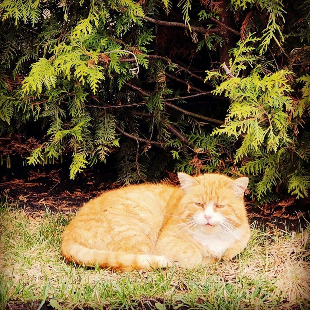 Туевый кот
